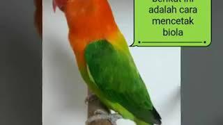 Video Rahasia Cara Mencetak Lovebird Biola Dengan mudah download MP3, 3GP, MP4, WEBM, AVI, FLV September 2018