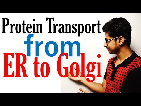 Protein transport from ER to golgi to lysosome