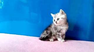 Британские котята мраморного окраса для вас.
