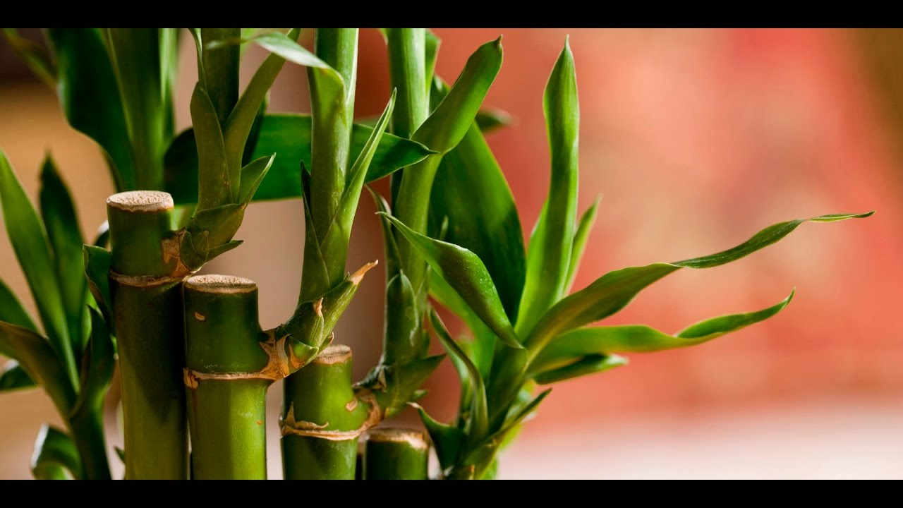 How To Take Care Of Lucky Bamboo You