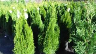See How to Fertilize your Cedars and Arborvitae