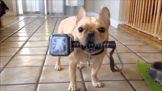 Thor Intermediate Trick Dog Title