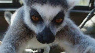 Lemur takes a selfie at London Zoo