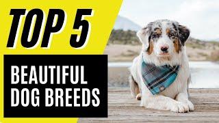 Top 5 Most Beautiful Dog Breeds (German Shepherd, Australian Shepherd)