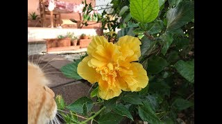 Ibisco Riproduzione per Talea Ibiscus