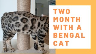 Bengal Cat Singapore | Two month with a Bengal cat