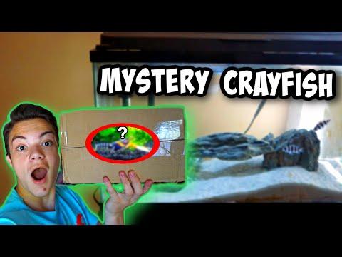 NEW EXOTIC *MYSTERY* CRAYFISH