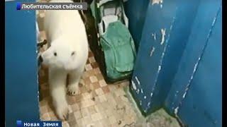 видео: На Новой Земле из-за нашествия белых медведей действует режим чрезвычайной ситуации