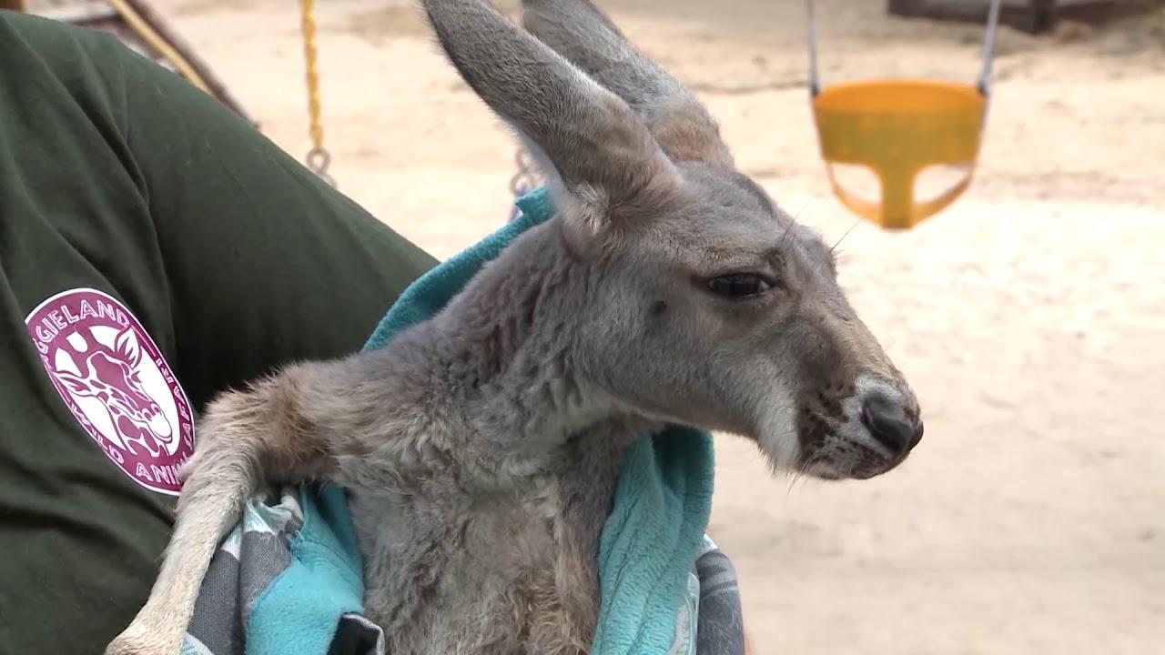 Zootube Aggieland Safari Youtube'da i̇zlenmeyen videoları karşınıza çıkaran site: zootube aggieland safari