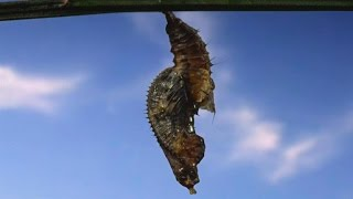 Spectacular Footage of a Butterfly Leaving Its Cocoon