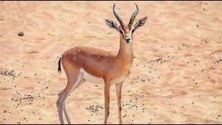 اطلاق غزال الريم في محمية حريملا عبيد العوني Release the Gazelle