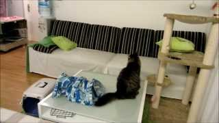 Ferret meets cat and shows who's boss