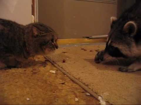 Raccoon Steals Cat Food And Runs Away