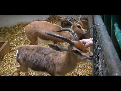 Dorkas gazela - Gazella dorcas - Dorcas Gazelle