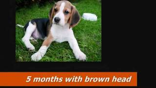 Beagle Change Of Color