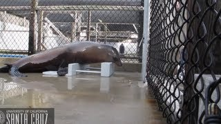 Dancing Sea Lion Keeps The Beat