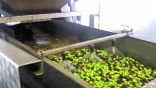 Pressing Home grown Olives into Oil