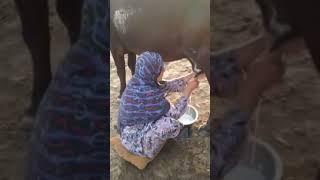 حلب الابقار في الريف العراقي
