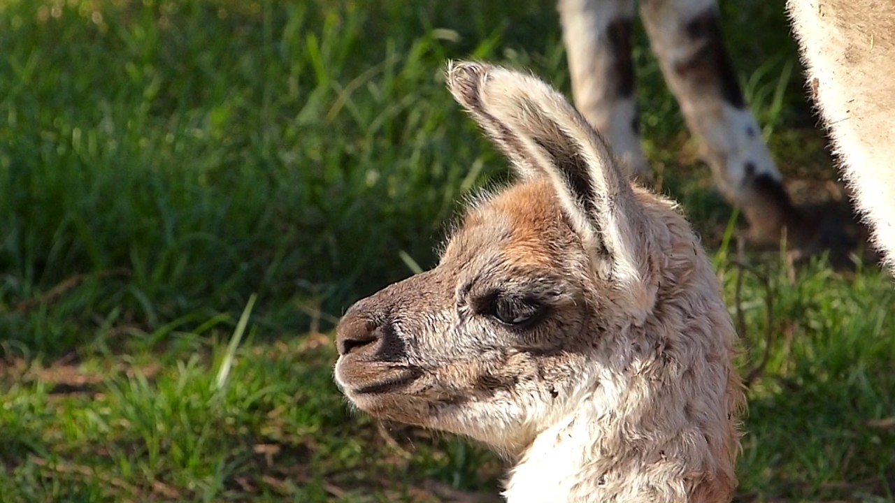 Fauna Andina Lindas Lhamas Animal Selvagem Animais Silvestres Peruanos Colombianos Andes Montanhas