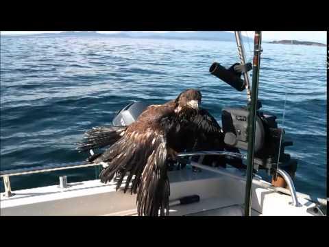 Eagle Rescue 101....The Basics....thumbs and all... Águila de rescate 101 / Sauvetage Aigle 101