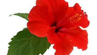 What are the Different Kinds of Hawaiian Flowers