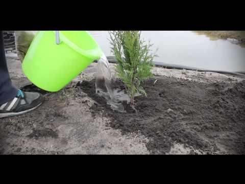 Как часто поливать туи после посадки осенью