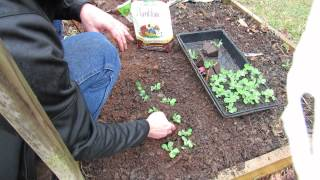Planting Entire Peat Trays Of Peas Into Raised Beds: Tree Branch Trellis - Mfg 2014