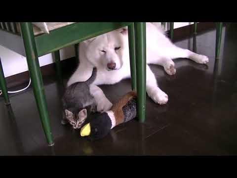 イタズラ子猫を黙って見守る秋田犬・天天   kitty  japanese akita