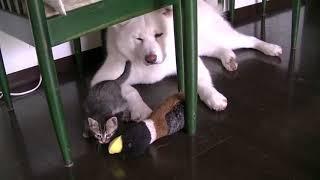 イタズラ子猫を黙って見守る秋田犬・天天   kitty  japanese akita thumbnail