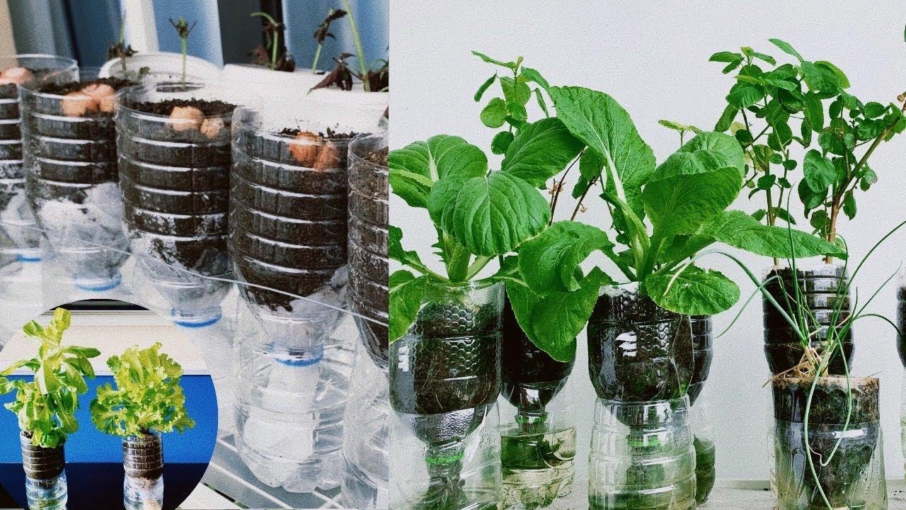 #117 làm chậu cây tự tưới từ chai nhựa trồng hành lá,rau muống,tía tô/grow plants in plastic bottles
