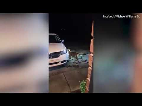 Pit bull tries to rip off the bumper of a brand new car.