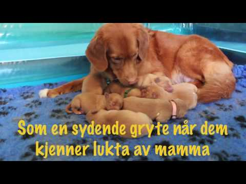 Toller Puppies first week