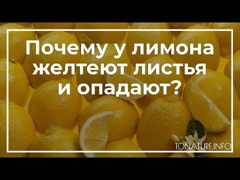 Почему у лимона желтеют листья и опадают? | toNature.Info