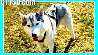 Go-carting Huskies   Husky Pulls Cart