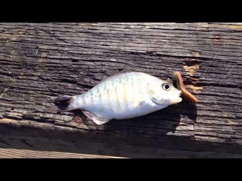 Oceanside pier fishing youtube for Oceanside fish report