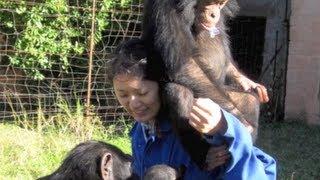 Zambia Chimfunshi Wildlife Orphanage: Playing with Baby Chimps