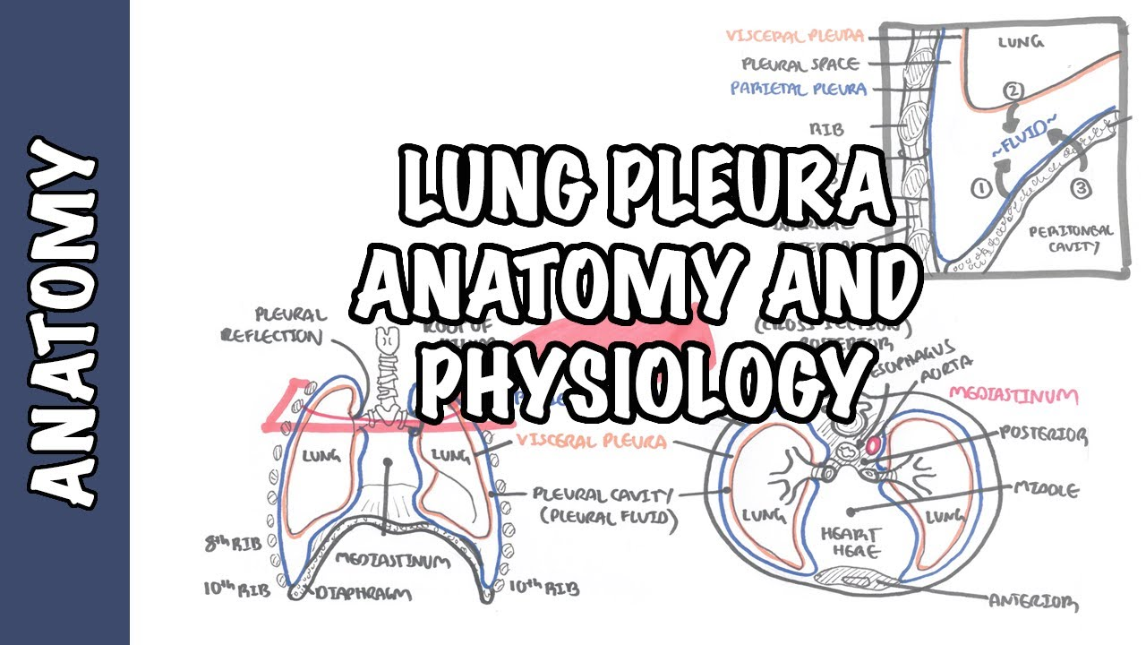 Lung Pleura Clinical Anatomy And Physiology Youtube