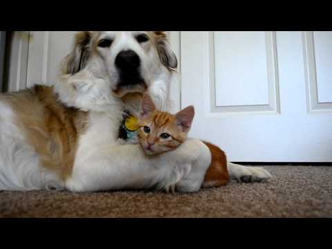 video 36: Cute ADORABLE kitten tries to steal dog's tongue (as seen on Ellen!!)