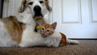 video 36: Cute ADORABLE kitten tries to steal dog