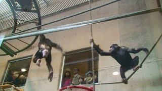 旭山動物園のチンパンジー、プヨ(♀、旭山zoo生、8歳)とキャロ(♂、旭...