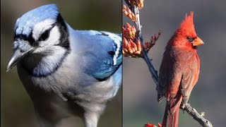 Relax Your Pet | Blue Jays Cardinals For Cats | 8 Hour Bird Entertainment Video | Leave On All Day