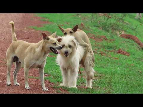 Summer Village RuralDogs!! Miniature Pinscher Vs Anatolian Shepherd Dog in Wat Svay Village