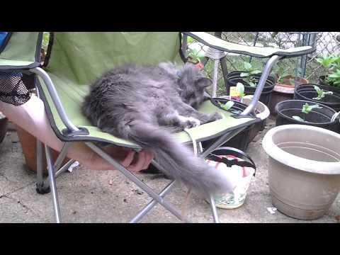 my Nebelung cat co co