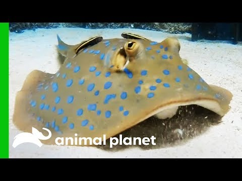 These Stingray Pups Prove That Slimy Can Be Cute! | The Aquarium