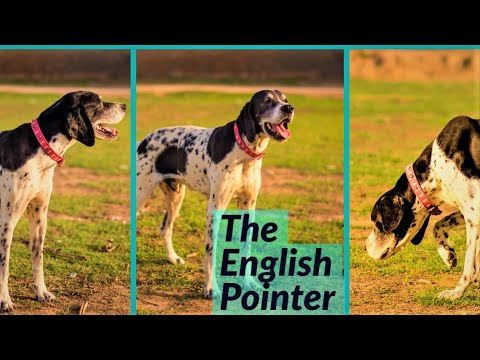 The English pointers. the perfect gun dog