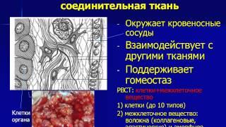 Собственно соединительные ткани 1. РВСТ(Лекция по гистологии. Содержание: Строение и функции РВСТ, клеточный состав, строение межклеточного вещест..., 2014-03-11T21:31:18.000Z)