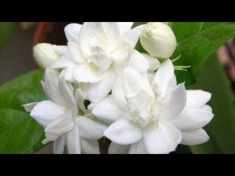 How to grow Jasmine / Mogra by cutting ? || 1 June, 2017