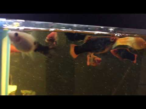 The Best LiveBearer Fish?/ Red Tail Black Variatus / Babies