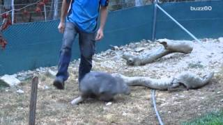 Happiest wombat ever goes crazy if you stop petting her