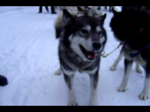 Racing dog information Husky in snow Colorado dog sled Breckenridge Vail dogsledding